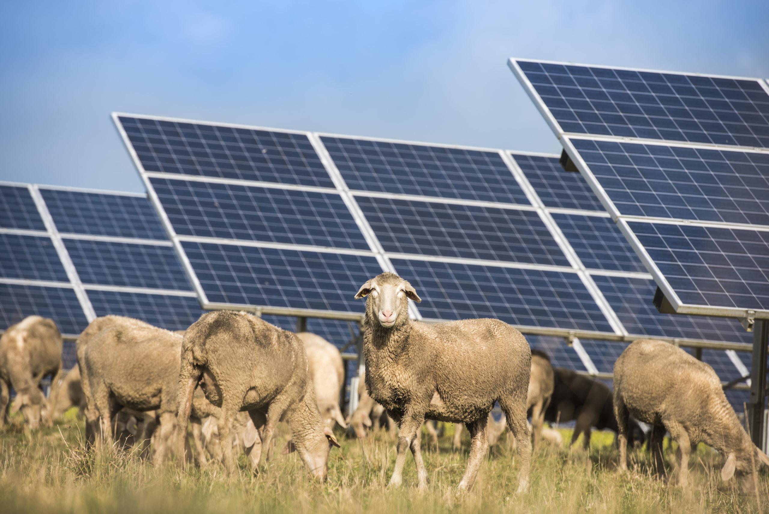 Schräg aufgestellte Solarmodule, unter denen Schafe weiden